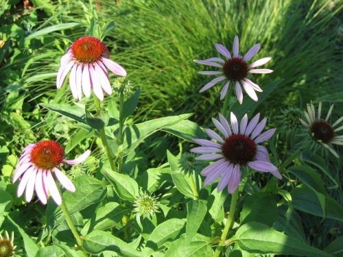 And so are the Coneflowers.